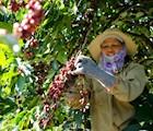 Cà phê arabica đặc sản của Đà Lạt có tỉ lệ hái chín cao. Ảnh: Gia Thịnh