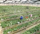 Vườn dâu tây trồng bằng phương pháp thủy canh