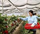 Công nhân thu hoạch dâu tây để cung cấp cho hệ thống siêu thị trong cả nước