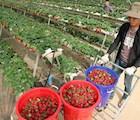 Nhờ sản xuất theo tiêu chuẩn châu Âu nên dâu tây tại trang trại cho năng suất vượt trội