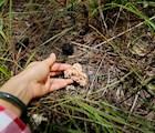 Nấm san hô đá dễ nhận biết bởi hình dáng và màu sắc