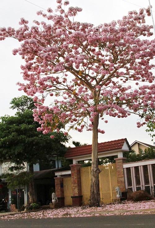 Cây Hồng phấn trên đường Lý Thường Kiệt