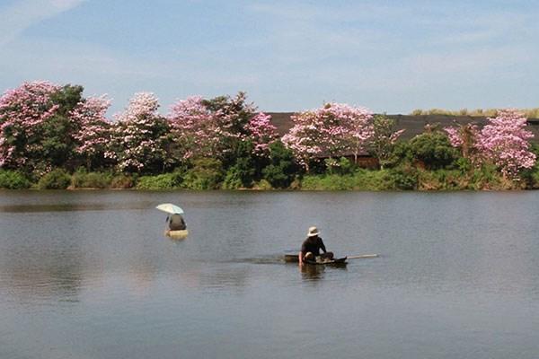 Hồng phấn khoe sắc bên hồ Nam Phương