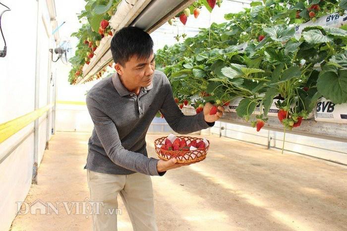 Ông Minh hái dâu trong trang trại của mình cho du khách dùng thử.
