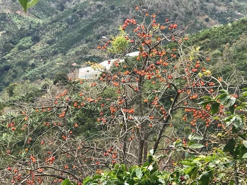 Hồng vàng ruộm trên cây