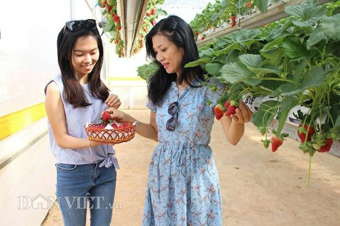 Những luống dâu tây treo lơ lửng khiến du khách thích thú khi đến tham quan.