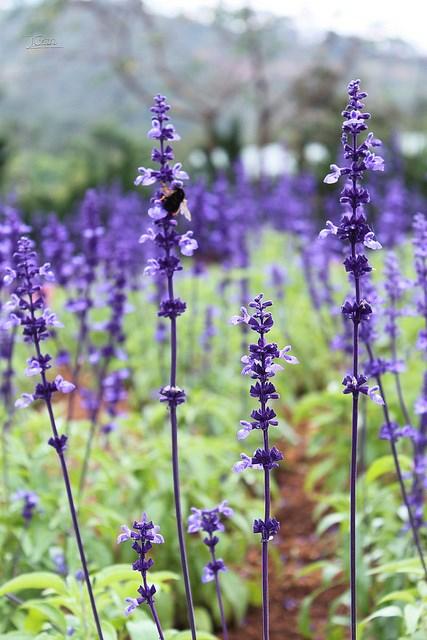 Lavender - hoa oải hương tím rực rỡ...
