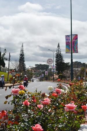 Hoa hồng nở rực rỡ trên cung đường 3/4, cửa ngõ thành phố Đà Lạt