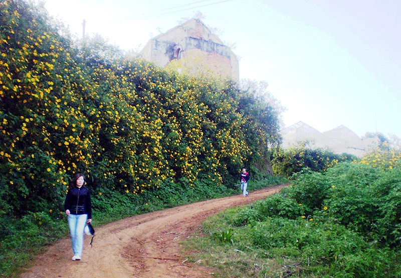 Hoa quỳ vàng bên ngoài Làng hoa Vạn Thành