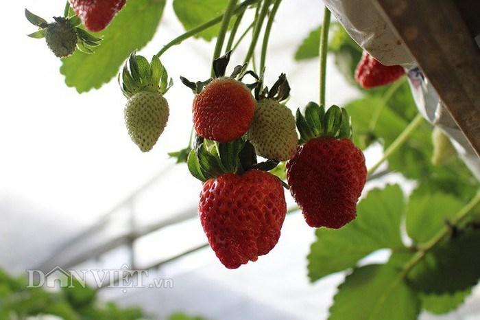 Những trái dâu trong trang trại được chăm sóc một cách kỹ lưỡng nhất.