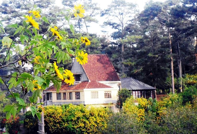 Hoa vàng hiếm hoi giữa biệt thự rừng thông xa trung tâm phố Đà Lạt