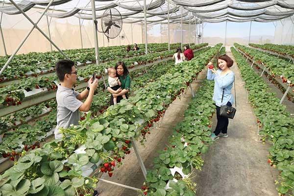 Du khách được tham quan, tìm hiểu quy trình trồng dâu thủy canh