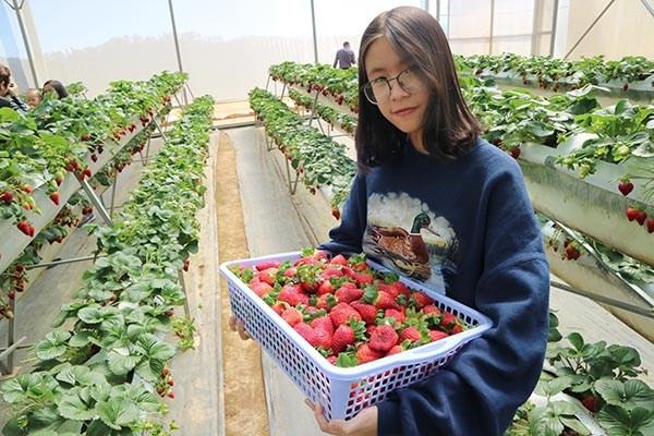 Du khách có thể tự tay thu hoạch và thưởng thức dâu tây ngay tại vườn