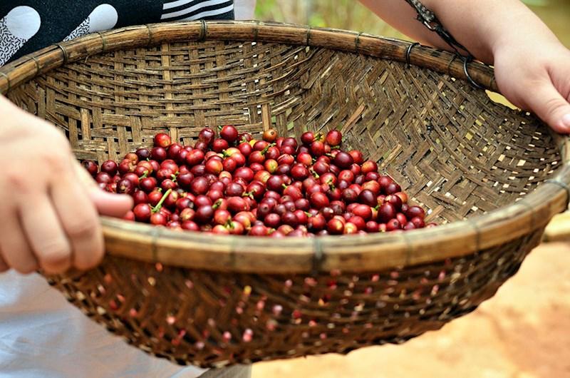 Cà phê chín mọng đủ độ ngọt sẽ cho chất lượng tốt nhất