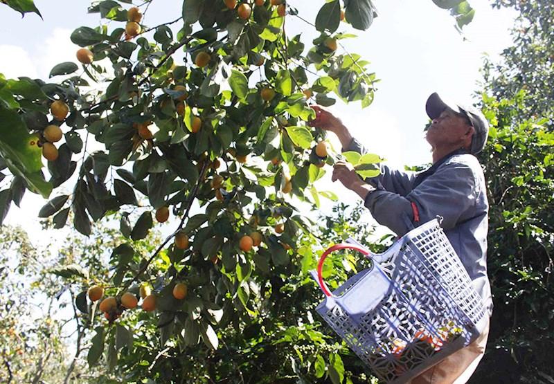Người dân thu hoạch hồng trứng lốc hay còn gọi là hồng giòn tại xã Xuân Trường.