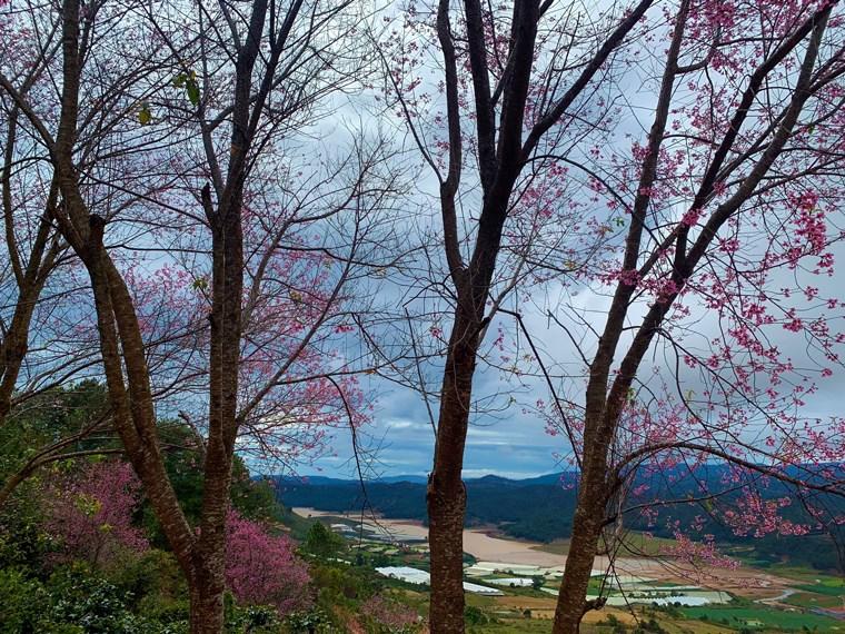 Màu hồng anh đào trên đồi cao nhìn xuống hồ Đan Kia